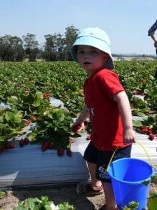 pick your own strawberries Sunshine Coast