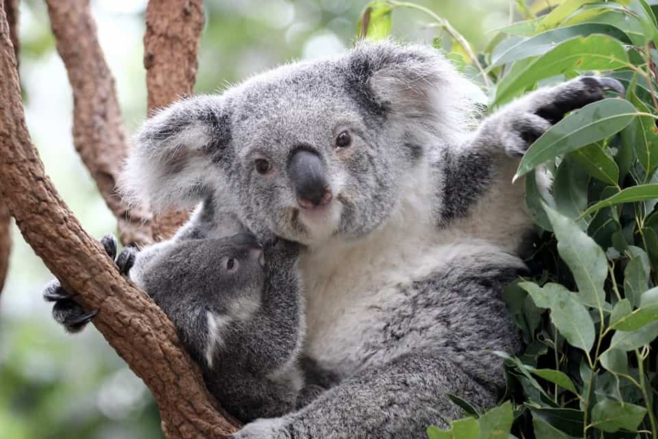 Best Zoos in Australia - Lone Pine Koala Sanctuary