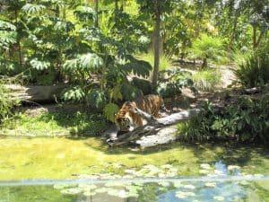 Tiger at Adelaide Zoo