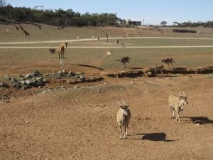 African Savanna at Monarto Zoo