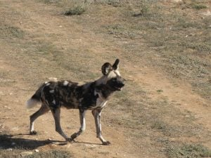 African Painted Dog at Monarto Zoo