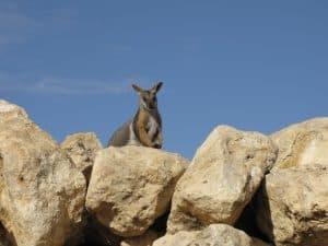 Rock Wallaby Enclosure at Monarto Zoo