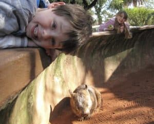 Wombat at Adelaide Zoo