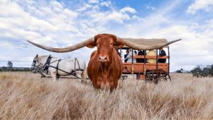 Texas Longhorn wagon tour, Leahton Park
