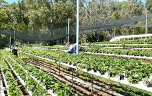 strawberry picking sydney