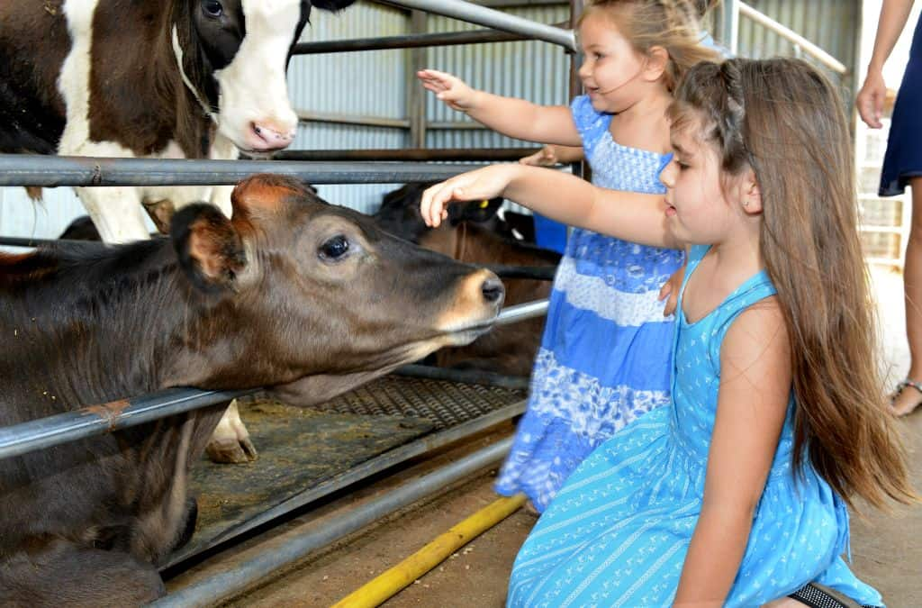 Day trips from Cairns Gallo Dairyland